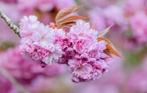 Sakura blommor