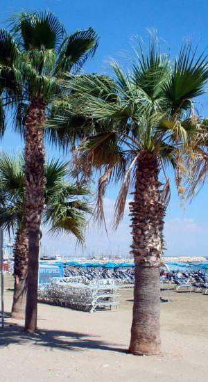 Palmträd i Ayia Napa
